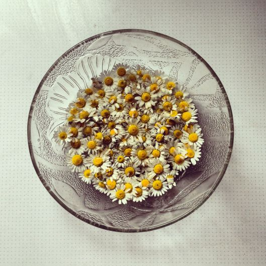 Stockpiling chamomile for winter. Feel a little bit witchy snipping off the little blooms for drying.