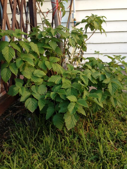 The raspberry bush has also come back to life. Hopefully we'll get a good crop this year!