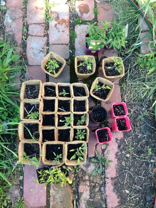 Seedlings ready for planting.