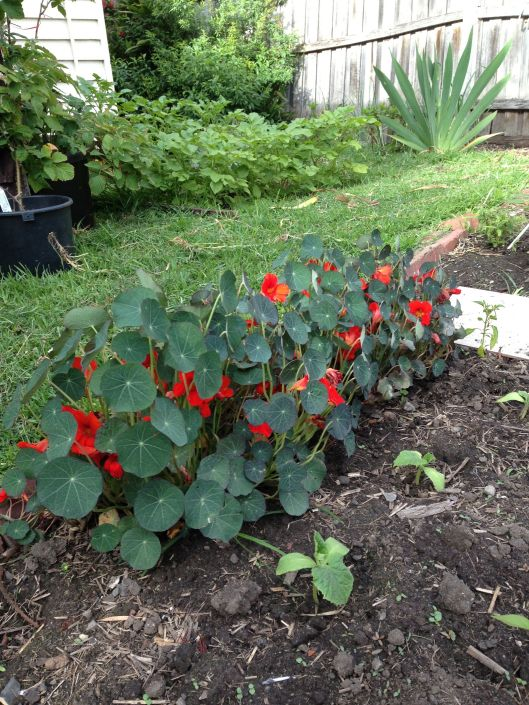 On the other side of the patch, the nastirtiums continue to thrive.