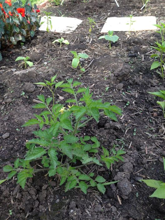 A few rogue tomato plants have popped up from last year's seeds. They probably won't do well in the same soil, but I figured they've made it this far, so they deserve a chance.