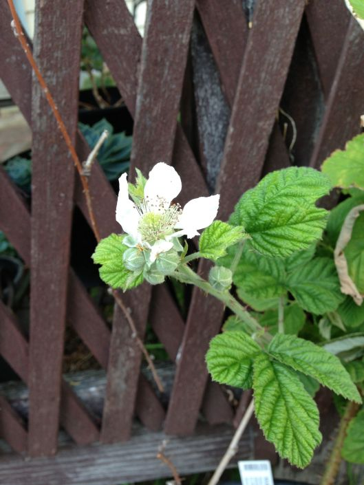 My marionberry is finally flowering this year!