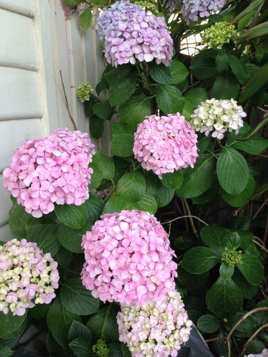 More hydrangeas. Sadlu these guys are hidden behind the behind the bins and a giant bush. The joys of renting.