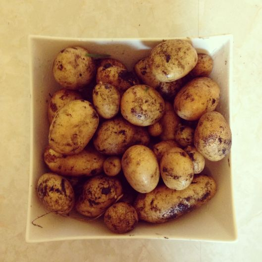 First potatoes of the season! These are Dutch cream potatoes, and it was my first time growing them. They taste uh-mazing and it was so much fun digging around in the dirt to find them.