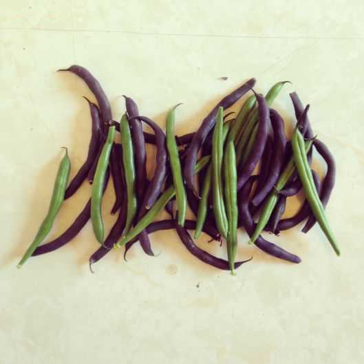 First (and sadly probably last) beans of the season!