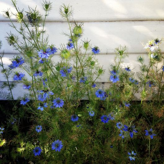 My love in a mist, which i grew from seed in spring, finally flowered!