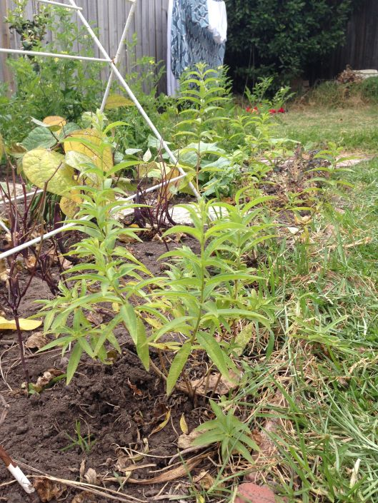 Lemon verbena looking a little yellow, but growing steadily, nonetheless.