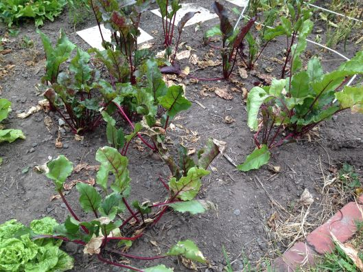 The beetroots had a lot of dead leaves, but I've cut those away.
