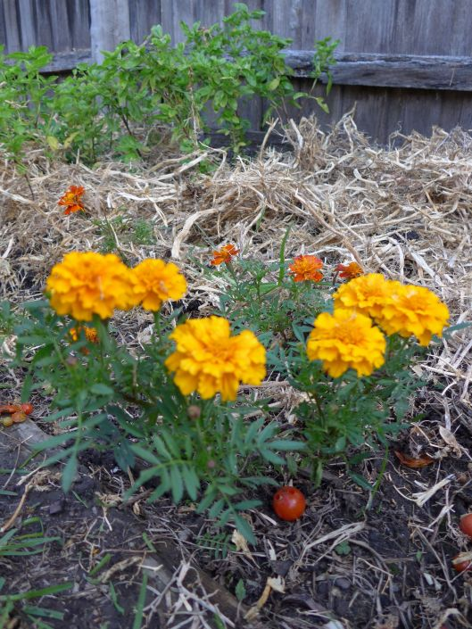 The marigolds are still flowering, so I'm leaving them be for now.