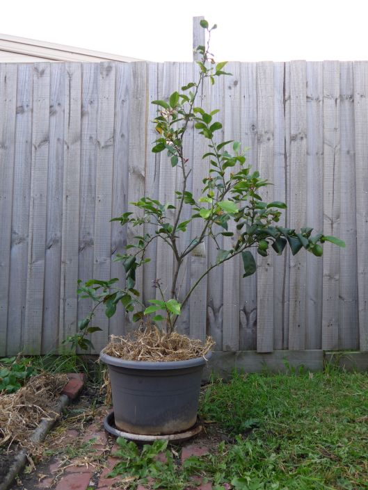 The lemon tree is starting to get some of it's growth back. Unfortunately the path weeds are equally enthusiastic.