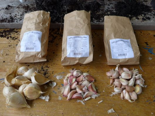 Three varieties of garlic ready for planting. This year I'm experimenting with (from L to R): Russian garlic, which has pretty purple flowers, massive cloves and is ready early in the season; silverskin, a late bloomer that stores well; and early purple, which, as the name suggest, is ready early and is apparently one of the easiest varieties to grow.