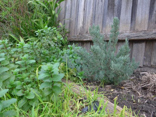 The lavender bush is properly settled in and befriending the mint.