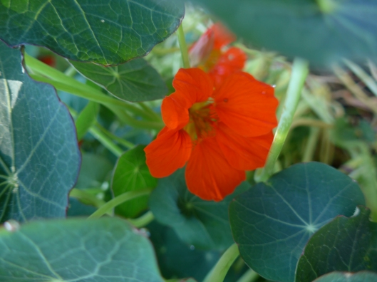 Empress of India nasturtiums!