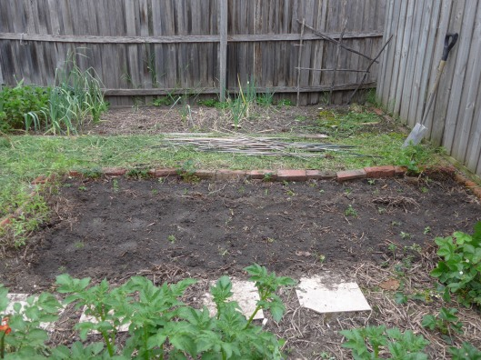 Broad beans gone, tomatoes and marigolds in.