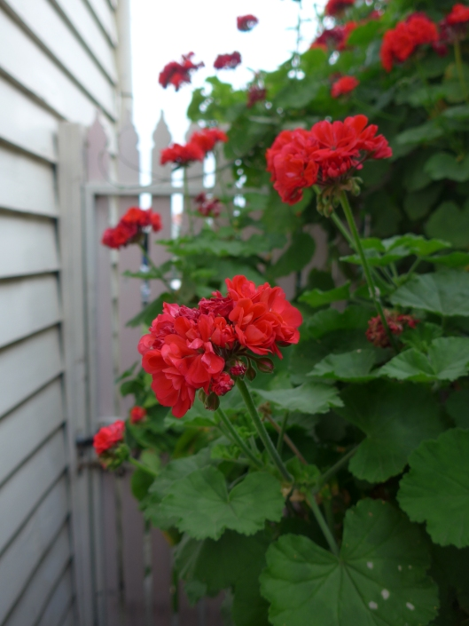 Geraniums brightening up the side of the house.